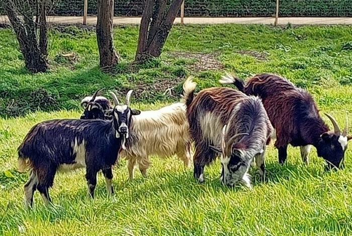 Des chèvres et des moutons au vallon du Creyer